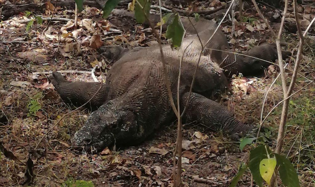 Sleeping Komodo Dragon
